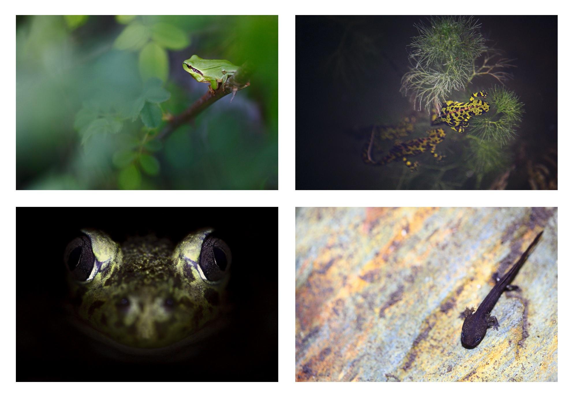 Amphibiens_nocturnes